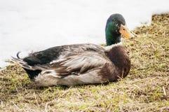Duck Mallard masculino fotos de archivo libres de regalías