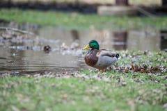Duck Mallard masculino salvaje imagen de archivo libre de regalías