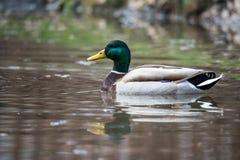 Duck Mallard masculino salvaje fotografía de archivo libre de regalías