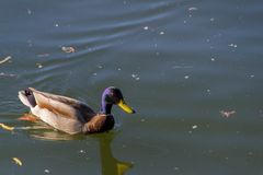 Duck Mallard in pond. A mallard duck floating in a pond Royalty Free Stock Photo