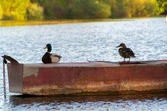Duck Mallard in pond. A mallard duck floating in a pond Stock Photos