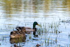 Duck Mallard in pond. A mallard duck floating in a pond Royalty Free Stock Photos
