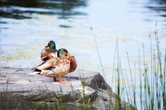 Duck Mallard que se coloca en una roca cerca de una charca fotografía de archivo