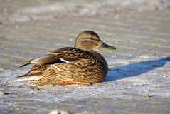 Duck mallard sits. Female mallard duck sits on the sidewalk. Selective focus Stock Images