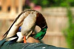 Duck. Mallard duck sitting of pool ledge Royalty Free Stock Image