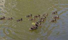 Duck mallard with small ducklings. Male Mallard Duck Spreading Wings in Water. Mallard Duck With Duckling Stock Image