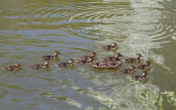 Duck mallard with small ducklings. Male Mallard Duck Spreading Wings in Water. Mallard Duck Stock Photos