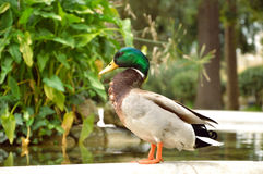 Duck. Mallard Duck standing beside the small pool in the park Stock Images