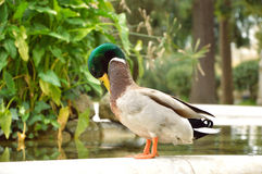 Duck. Mallard Duck standing beside the small pool in the park Stock Photos