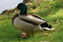 A duck Mallard, in the sun - Front view - France. A duck Mallard, in the sun, in the grass and in front of a lake. It is in France, to Elancourt in the Stock Photography