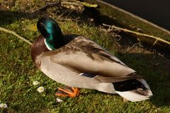 A duck Mallard, only with the sun royalty free stock photo