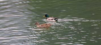 A duck and a mallard swim side by side in a lake. A duck and a mallard swim side by side in the placides Royalty Free Stock Images
