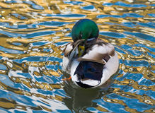 Duck Mallard. Mallard duck in the water Royalty Free Stock Image