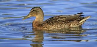 Duck mallard on the water Stock Image