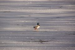 A duck mallard which skates on an ice-cold lake. A duck Mallard which works in the sun on the ice-cold lake. It is a shooting in the day, there is a sun. In Royalty Free Stock Images