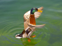 Duck. Mallard, Wild Duck, Anas platyrhynchos, male / anatidae, anseriformes Royalty Free Stock Photo