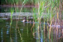 Duck mama with ducklings swimming in lake in formation. Summer scene in country stock photos