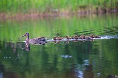 Duck mama with ducklings swimming in lake in formation. Summer scene in country royalty free stock photos