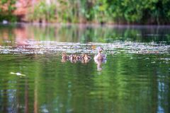 Duck mama with ducklings swimming in lake in formation. Summer scene in country royalty free stock photography