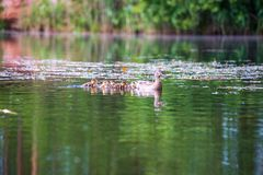 Duck mama with ducklings swimming in lake in formation. Summer scene in country royalty free stock image