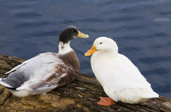 Duck man & wife Royalty Free Stock Photography