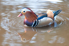 Duck, Mandarin Stock Photography