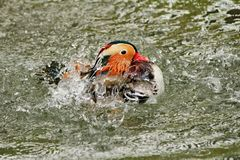 Duck mandarin Royalty Free Stock Image