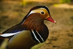 Free Duck-mandarin One Male On A Dark Background Stock Photography - 109915422