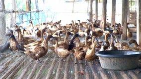 Duck mangiando l'alimento in azienda agricola, l'agricoltura tradizionale, 4k, UHD video d archivio