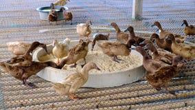 Duck mangiando l'alimento in azienda agricola, l'agricoltura tradizionale, 4k, UHD archivi video