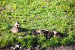 Duck with many ducklings on shore of pond Royalty Free Stock Photo