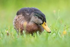 Duck on meadow eats grass. Duck / Mallard female stands on a meadow and eats royalty free stock photo