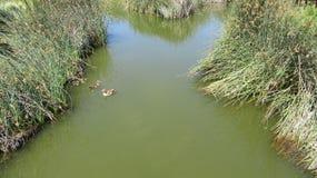Duck Meander nel parco di GreenPoint immagini stock