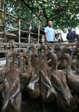 Duck. Merchants offer ducks for sale at a market in Sukoharjo, Central Java, Indonesia Stock Photos