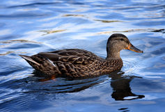 Duck at Minnewaska State Park Royalty Free Stock Image