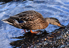 Duck at Minnewaska State Park. Reserve Upstate NY during summer time Stock Photos