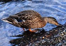 Duck at Minnewaska State Park Stock Photos
