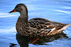 Duck at Minnewaska State Park. Reserve Upstate NY during summer time Stock Photography