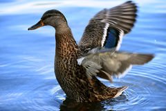 Duck at Minnewaska State Park. Reserve Upstate NY during summer time Stock Images