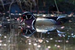 Duck Mirror de madera Fotos de archivo