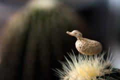 Duck Modelling Peanut på kaktuns arkivbild
