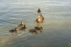 Duck mom family offspring lake swim bird. Duck mom watching her little offspring swimming in the lake Royalty Free Stock Photos