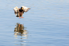 Duck Landing On Lake Royalty Free Stock Photography
