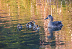 Duck Mother. Mother Duck looking after here ducklings Stock Photography