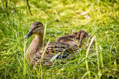 Duck mother and babies Stock Image