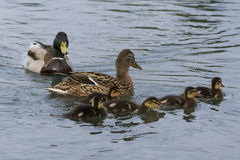Duck mother with chicks Stock Image