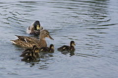 Duck mother with chicks Royalty Free Stock Images