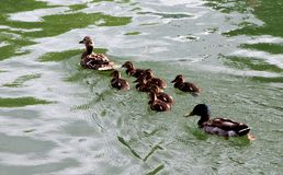 Duck, a mother and her cubs swim quietly. The complete family the father follows behind stock images
