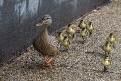 Duck mother and puppy in a line crossing the street in washington. Duck family mother and puppy in a line crossing the street in washington dc stock photo