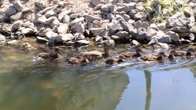 Duck mother is swimming with her cubs on a narrow river. Nature